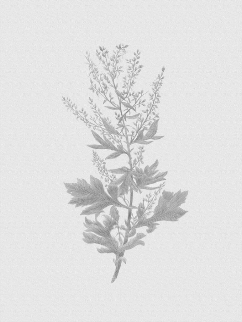 Полынь обыкновенная (Artemisia vulgaris). Рим Битик, 2020
