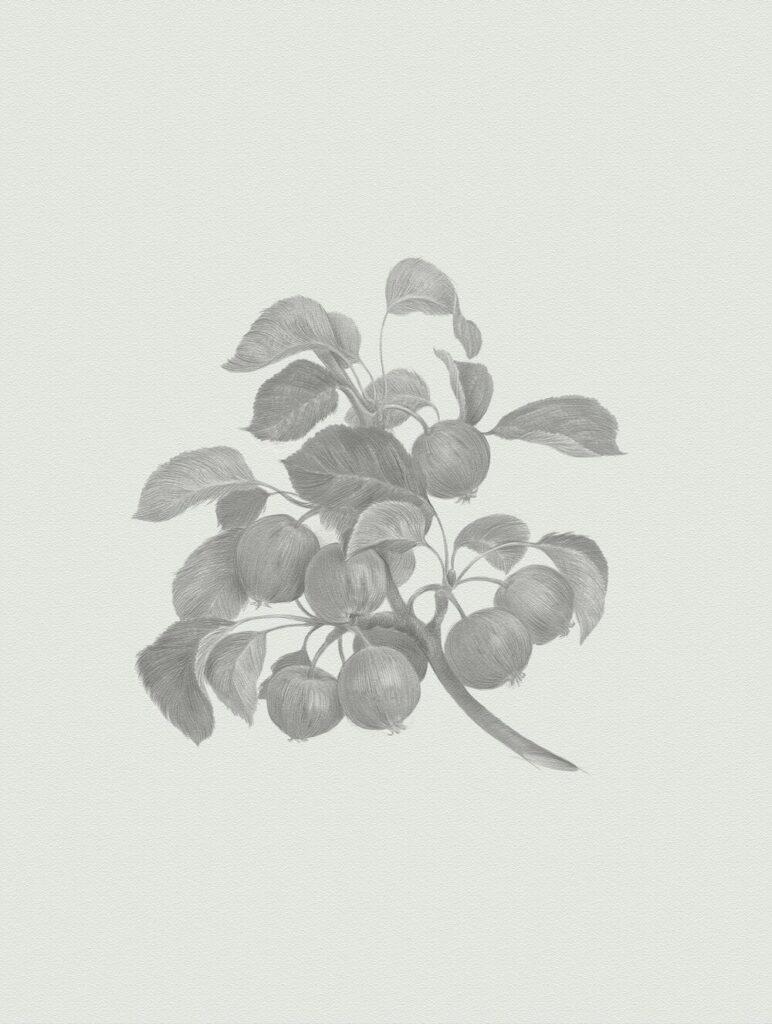 Кислица, или лесная яблоня (Malus sylvestris). Рим Битик, 2020.